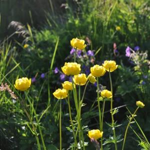 bloemen-lofoten