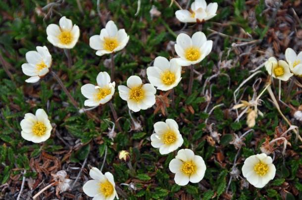 bloemen-svalbard