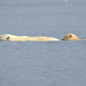 ijsberen-spitsbergen