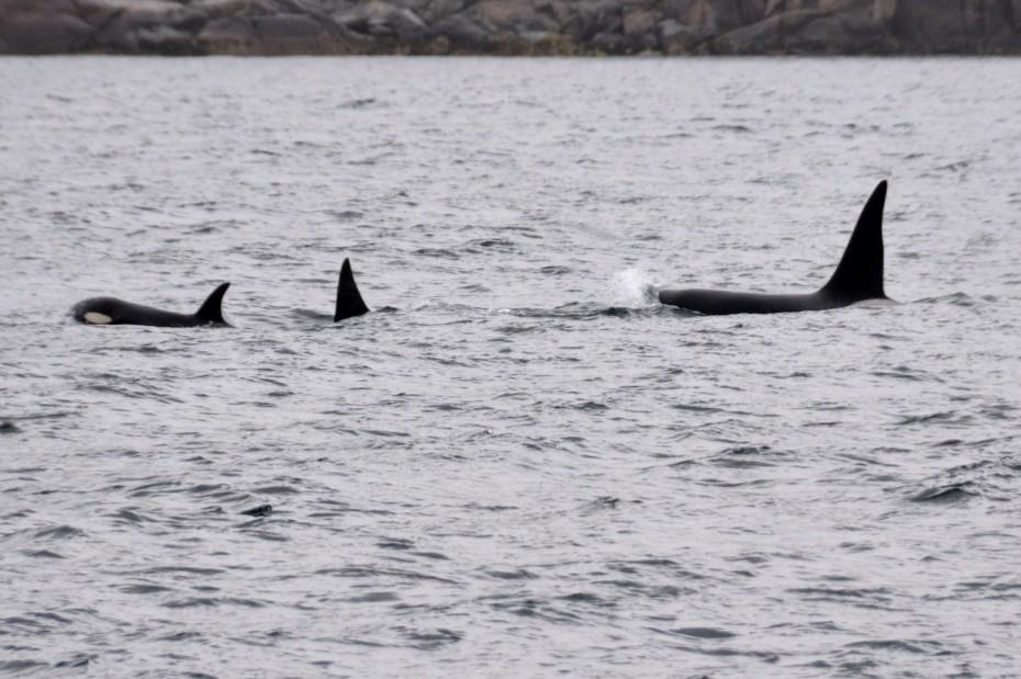 orka's in de Lofoten