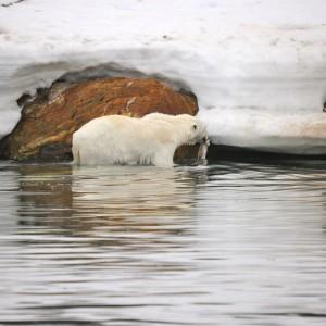 vissende-ijsbeer-spitsbergen