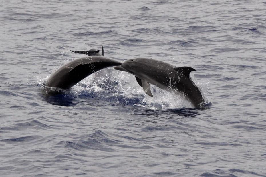 p24. dolfijnen azoren