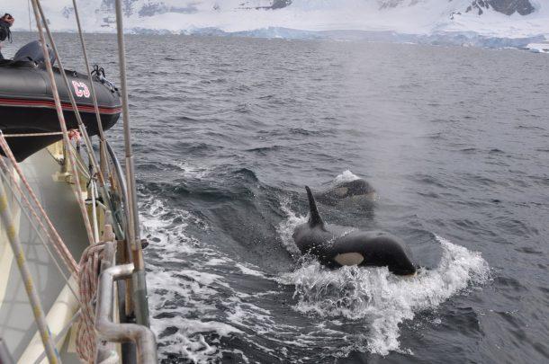 orkas-neben-anne-margaretha-antarktika
